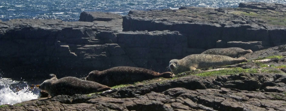 Seal relaxing on the shore in the Orkney Islands